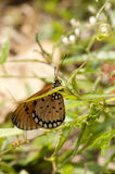 Tawny Coster butterfly. Is on a plant stock photography
