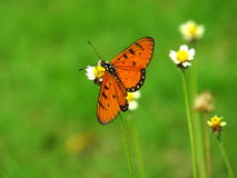 Tawny Coster Butterfly. Sitting for day sunlight royalty free stock photography
