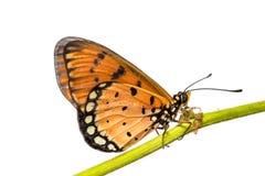 Tawny coster motyl Obrazy Royalty Free