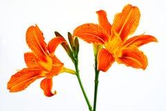 Tawny Daylily Royaltyfria Bilder