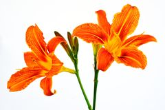 Tawny Daylily. (Hemerocallis fulva), is a garden flower Royalty Free Stock Images