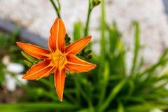 Tawny Daylily Mycket nätt orange blomma royaltyfri bild