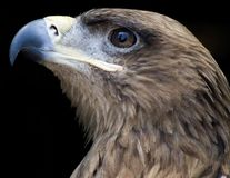 Tawny eagle. Portrait of a tawny eagle Royalty Free Stock Photography