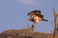 Tawny Eagle Stock Photography