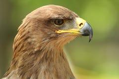 Tawny Eagle royalty free stock photo