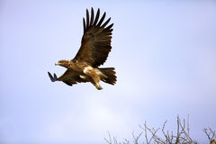 Tawny Eagle. A Tawny Eagle in flight, Kruger National Park Royalty Free Stock Photography