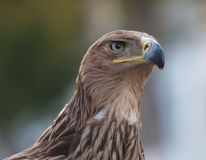 Tawny Eagle Royalty Free Stock Photos