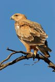 Tawny eagle Royalty Free Stock Images