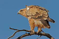 Tawny eagle. (Aquila rapax) perched on a branch, Kalahari, South Africa stock images