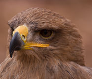 Tawny Eagle. This is a portrait of a Tawny Eagle, an African species Royalty Free Stock Photo