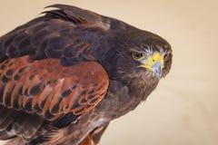 Tawny Eagle on Alert Royalty Free Stock Image