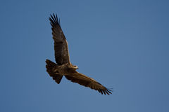 Tawny Eagle (Aquila rapax) Royalty Free Stock Photography