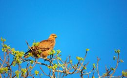 Tawny Eagle (Aquila rapax) Stock Photography
