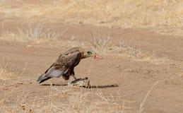 Tawny Eagle Aquila-rapax, das eine Schildkröte isst Lizenzfreie Stockbilder