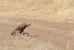 Tawny Eagle Aquila-rapax, das eine Schildkröte isst Stockfotos