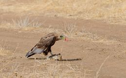 Tawny Eagle Aquila rapax eating a tortoise Royalty Free Stock Images