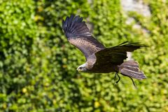 Tawny Eagle, Aquila rapax is een grote roofvogel royalty-vrije stock afbeelding