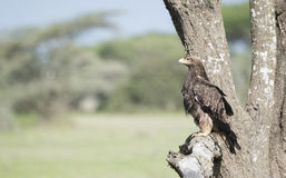 Tawny Eagle Aquila rapax Hunting from a Tree Royalty Free Stock Photos