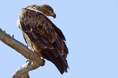 Tawny Eagle (Aquila rapax) Stock Photos