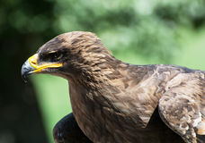 The Tawny eagle (Aquila rapax) Royalty Free Stock Photo
