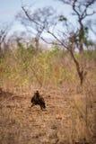 Tawny Eagle Aquila rapax odprowadzenie na ziemi, Południowa Afryka Zdjęcie Stock