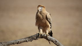 Tawny eagle. A tawny eagle (Aquila rapax) perched on a branch, Kalahari desert, South Africa stock footage