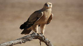 Tawny eagle. A tawny eagle (Aquila rapax) perched on a branch, Kalahari desert, South Africa stock video