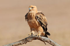 Tawny eagle. A tawny eagle (Aquila rapax) perched on a branch, Kalahari desert, South Africa Royalty Free Stock Image