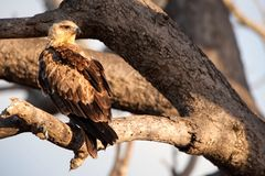 Tawny Eagle (Aquila rapax). The tawny eagle's (Aquila rapax) diet is largely fresh carrion of all kinds, but it will kill small mammals up to the size of a Royalty Free Stock Images