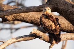 Tawny Eagle (Aquila rapax). The tawny eagle's (Aquila rapax) diet is largely fresh carrion of all kinds, but it will kill small mammals up to the size of a Stock Images