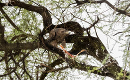 Tawny Eagle Aquila rapax with Stork Kill in an Acacia Tree Stock Image