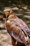 Bird of prey. Tawny eagle (Aquila rapax) Stock Image