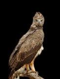 Tawny eagle on dark background Royalty Free Stock Images