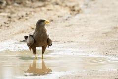 Tawny Eagle en el parque nacional de Kruger Foto de archivo libre de regalías