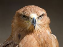 Tawny Eagle Head On Royalty Free Stock Photos