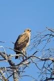 Tawny Eagle hockte im toten Baum Lizenzfreie Stockbilder