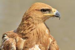 Tawny Eagle Ikonowy piękno złoto i kolor żółty - Dziki Ptasi tło od Afryka - Obraz Royalty Free