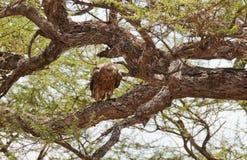 Tawny Eagle im Ruhezustand auf einem Baumast Lizenzfreies Stockbild