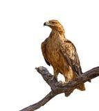Tawny eagle isolated Royalty Free Stock Images