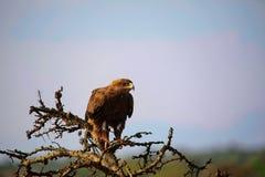 Tawny Eagle, Kenia, Afrika Stockbilder