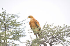 Tawny Eagle Royalty Free Stock Photography