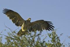 Tawny Eagle-Landung Stockfotos