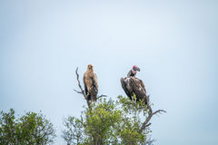 Tawny eagle and Lappet-faced vulture in a tree. Royalty Free Stock Photos