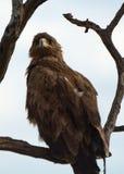 Tawny eagle, Maasai Mara Game Reserve, Kenya. Tawny eagle in Maasai Mara Game Reserve, Kenya Stock Images
