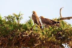 Tawny Eagle, Masai Mara Stockfotografie