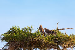 Tawny Eagle, Masai Mara Stockfoto