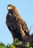 Tawny Eagle, Masai Mara Stockbild