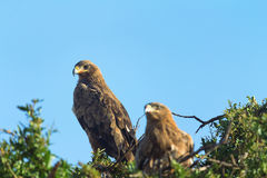 Tawny Eagle, Masai Mara Stockfotos