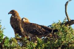 Tawny Eagle, Masai Mara Lizenzfreie Stockfotos