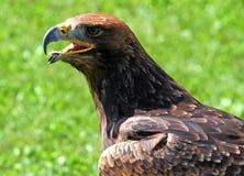 Tawny Eagle mit dem offenen Schnabel Lizenzfreies Stockbild